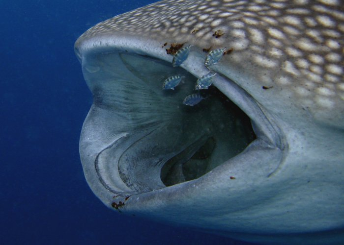 Into the mouth of a whale shark