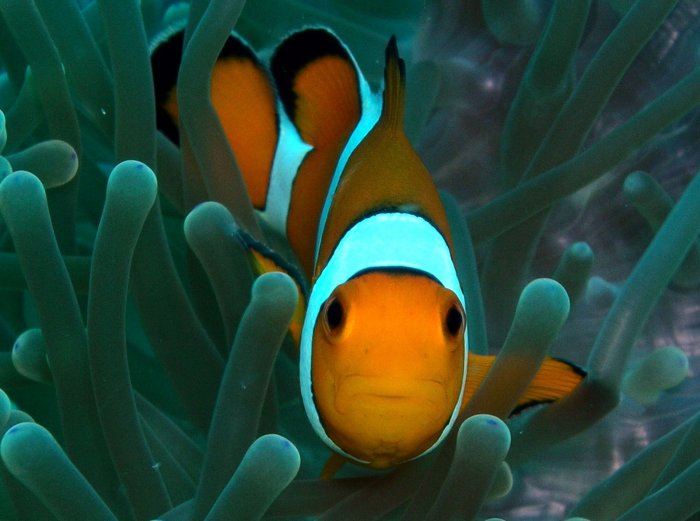 Western Clown Fish