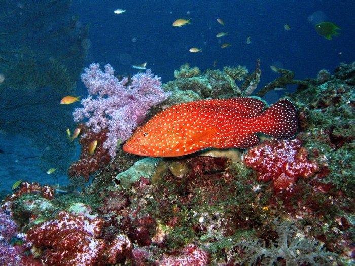Reef grouper