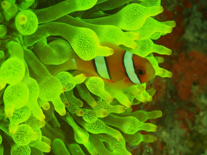 home_fluoanemonefish.jpg